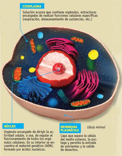 El Escolar • La célula